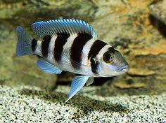 Neolamprologus tretocephalus - want                                                                                                                                                                                 Mais