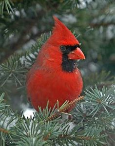 Northern Cardinal  from Great Backyard Bird Count by Jerry Acton