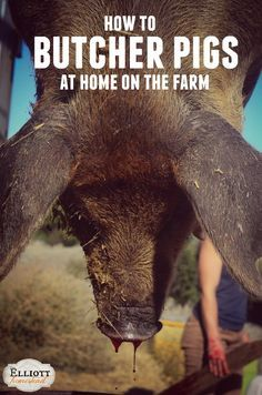 Check out this easy step-by-step on how to butcher pigs at home on the farm. Homestead Survival, Survival Tips, Survival Skills, Survival Stuff, Homestead Farm, Wilderness Survival, Future Farms, Living Off The Land, Farms Living