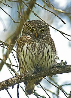 Eurasian Pygmy Owl, FINLAND