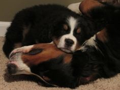Ms. Jezebel and her new little brother, Raylan  - so sweet :)