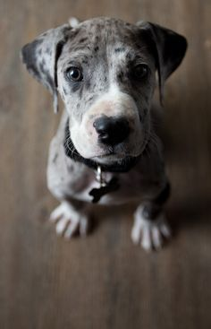 merle great dane puppy.... WANT ONE SO BAD!!!