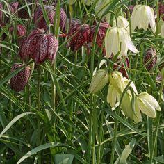 Die Schachbrettblume Fritillaria meleagris wurde von der Royal Horticultural Society mit dem Award of Garden Merit ausgezeichnet, sie ist also ausgezeichnet für den Garten geeignet. Pflanzzeit: Herbst - Online bestellbar bei www.fluwel.de