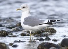 "Learn how to identify Mew Gull, its life history, cool facts, sounds and calls, and watch videos. One of the smallest of the ""white-headed"" gulls, the Mew Gull is common along Pacific Coast beaches in winter. It also occurs in Eurasia, where it is known at the ""Common Gull."""