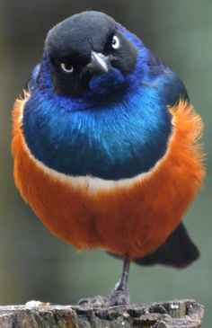 Pájaro naranja y azul. Translates bird orange and blue. Don't know what bird it is, but what a beautiful contrast in colors.