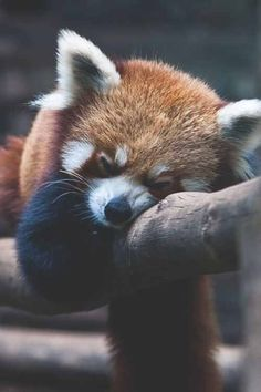 I used to think having wild animals for pets was cruel...then I saw a red panda. Must. Have.