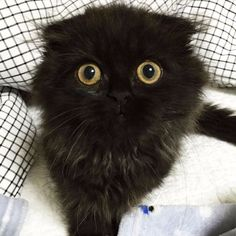Poznajcie Gimo – puszystego kota o nieprawdopodobnie wielkich oczach.