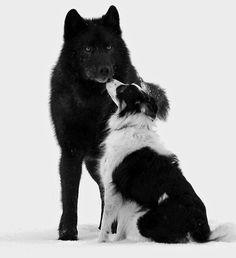 Ce magnifique loup sauvage d'Alaska a un comportement tout à fait incroyable lorsqu'il approche de ses cousins les chiens !