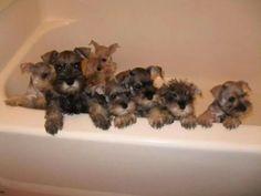 Schnauzer puppy bath time