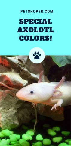 We also have some unique colors which are hard to find. These colors also have some characteristics that are different from the other standard colors. These colors include the GFP and the copper. #SpecialAxolotlColors #AxolotlColors #Axolotl #Axolotls #WalkingFish #MexicanSalamander Wild Animals Pictures, Animal Pictures, Cute Little Animals, Cute Funny Animals, Axolotl Cute, Cute Reptiles, Cute Names, Pet Fox, Cute Dogs And Puppies