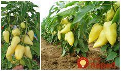 Skúsený pestovateľ prezradil tri základné kroky, ktorých dodržanie vám dovedú k úspechu - maximálnej úrody papriky z každej jednej rastlinky!