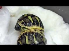 A Baby Tortoise Had Trouble Getting Out of His Egg, Turned Out to Be Twins! - Cheezburger