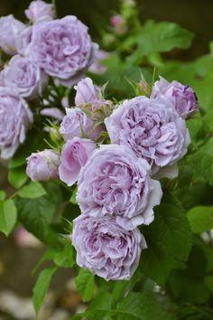 ~[roses] Rushieru Blue (Sh mauve) domestic seedling new seedlings 6 Go-kaku Fukahachi goods ○