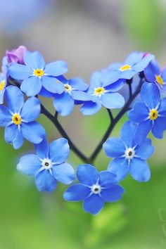Forget-Me-Not flowers - Heart shaped bloom http://www.deal-shop.com/product/cool-mist-humidifier/