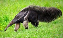 Anteater is the common name given for the four mammal species that belong to the vermalingua suborder. Vermalingua means tongue and these mammals feed on ants Zoo Animals, Animals And Pets, Cute Animals, Armadillo, Unusual Animals, Animals Beautiful, Interesting Animals, Animals In Alphabetical Order, Giant Anteater