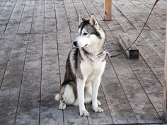 To obtain the top outcome out of husky training, you in actuality ought to adjust the way you think about husky training. Husky training requires the owner to take charge so that your husky has a good leader to follow. Although Huskies are...