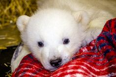 Reason 6: This photo | 21 Reasons Why Kali Is The Worlds Cutest Orphaned Baby PolarBear