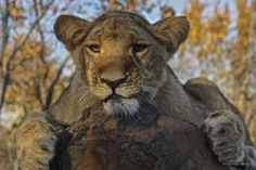 Lion Zimbabwe - A young Lion @ Zimbabwe