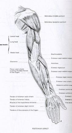Muscles6.jpg (1449×2674)