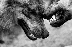 Wolf Spirit, Spirit Animal, Beautiful Creatures, Animals Beautiful, Animals And Pets, Cute Animals, Wild Animals, Canis Lupus, Wolf Love