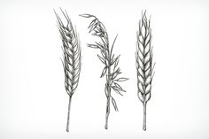 Crops, wheat and oat sketches by Allevinatis Studio on @creativemarket