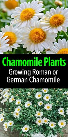 flower garden care Chamomile Plants: Growing And Care Of Roman or German Chamomile Flowers Growing Herbs In Pots, Growing Flowers, Growing Plants, Growing Vegetables, Fresh Flowers, Organic Gardening, Gardening Tips, Flower Gardening, Vegetable Gardening