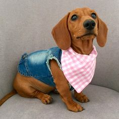 """Explore our website for additional relevant information on """"dachshund puppies"""". It is actually a great place to get more information. Dachshund Clothes, Dachshund Funny, Dachshund Gifts, Dachshund Puppies, Weenie Dogs, Dachshund Love, Doggies, Pet Clothes, Long Haired Miniature Dachshund"""