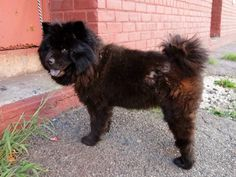 SAFE --- Brooklyn Center  HERSHEY aka DESCHAMPS - A1010743  FEMALE, BLACK, CHOW CHOW MIX, 4 yrs STRAY - STRAY WAIT, NO HOLD Reason STRAY  Intake condition EXAM REQ Intake Date 08/15/2014, From NY 11208, DueOut Date 08/18/2014  https://www.facebook.com/Urgentdeathrowdogs/photos/a.617941078218775.1073741869.152876678058553/857160674296813/?type=3&theater