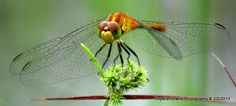 orange dragonfly Orange, Plants, Photography, Photograph, Fotografie, Photoshoot, Plant, Planets, Fotografia