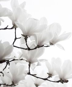 Flowers Black And White Photography Life 43 Ideas Black And White Flowers, Shades Of White, White Gardens, Magnolias, White Aesthetic, Belle Photo, White Photography, Photography Flowers, Planting Flowers