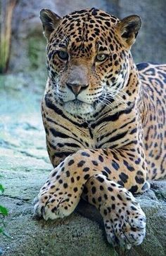 The Jaguar is a big cat, a feline in the Panthera genus, and is the only Panthera species found in the Americas. Nature Animals, Animals And Pets, Funny Animals, Cute Animals, Funny Pets, Wild Animals, Images Of Animals, Baby Animals, Pretty Animals