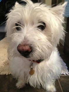 Daisy been digging, Oops West Highland Terrier, Westies, Scottie, Dog Stuff, Cousins, Fur Babies, Dog Breeds, Daisy, Muffin