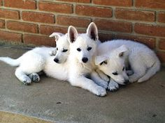 Three American White Shepherd puppies cuddled together against a brick wall West Highland Terrier, I Love Dogs, Cute Dogs, Baby Animals, Cute Animals, Australian Shepherds, German Shepherds, White Shepherd, Schaefer