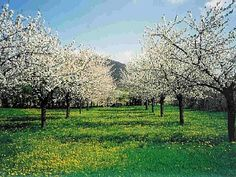 The house's Cherry Orchard in the spring...