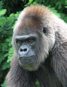 images of gorillas | This Western Lowland Gorilla looks almost human in this gorilla photo ...