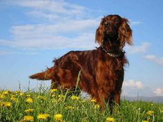 irish setter | coat of the Irish or red setter is deep mahogany red. Irish setters ...