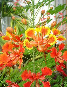 100 Pride Of Barbados Seeds, Bird Of Paradise (Caesalpinia Pulcherrima) ~ FREE SHIP