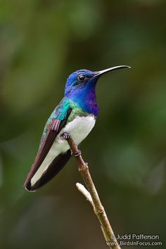 White-necked Jacobin (Florisuga mellivora) ~ By Judd Patterson