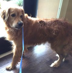 Baron-15-147 | M | 5 years — Golden Retriever Rescue of North Texas Golden Retriever Rescue, Golden Retrievers, Dog List, Baron, Rescue Dogs, 5 Years, Dog Pictures, Adoption, Texas
