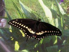 Yellow swallowtail.