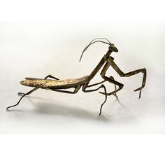 Antique ASIAN JAPANESE Silver ARTICULATED Praying MANTIS in BOX Signed MEIJI $3701