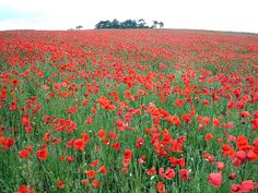 """Poppy Fields of Flanders in Belgium  The blood red poppies of the fields of Flanders never fail to evoke a feeling of somber contemplation & remembrance akin to the barren, misty fields of Culloden, Scotland.  Poppies have served as the inspiration for """"In Flanders Field"""", the stirring poem by Lieutenant Colonel John McCrae, M.D. for his best friend who died in battle. An honored bloom during Remembrance Day, each poppy has come to represent every brave man or woman who had given up their…"""