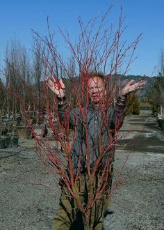 Learn how to prune Japanese Maples with Master Pruner Michael Alliger!  gardentribe.com/pruning-japanese-maples