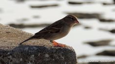 Sparrow 6550 #nature