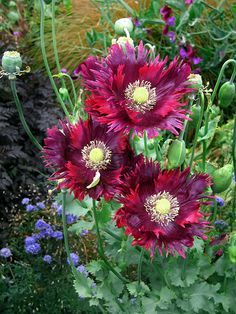 Papaver 'DRAMA QUEEN' poppy
