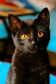 Black kitten, amber eyes.