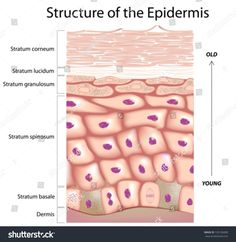 Illustration about Anatomy of the epidermis, the outmost layer of human skin, Illustration of healthcare, exfoliate, cell - 28721116 Nursing Tips, Nursing Notes, Nursing Math, Medicine Notes, Medicine Student, Skin Anatomy, Nursing Mnemonics, Face Care Routine, Human Anatomy And Physiology