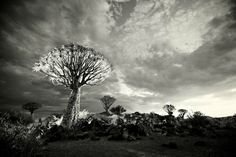 Quiver trees in black and white by Heinrich van den Berg on www.digitalgallery.co.za