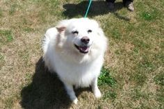 Toto is an adoptable Samoyed Dog in Bowmanville, ON. Toto is a beautiful girl that loves the attention of the people she gets to know. She will be happy just to be with you in the same room. Toto like...
