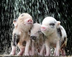 Three little piggies enjoying a shower, and who wouldn't like to play in the rain